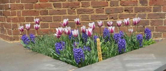 Tulips at Monticello